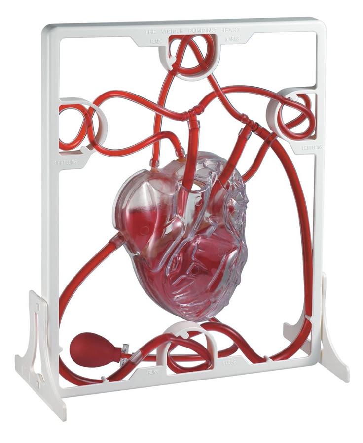 Model inimă funcțională imagine edituradiana.ro