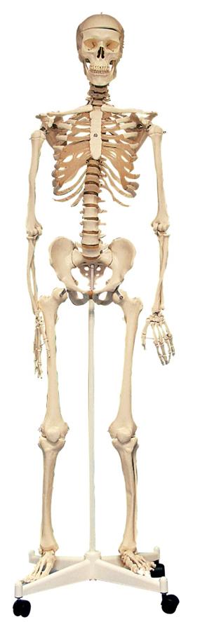 Schelet uman în mărime naturală imagine edituradiana.ro