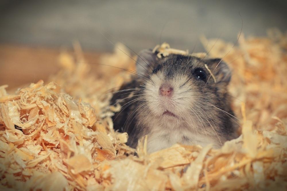 nu se întâlnesc cu hamsteri