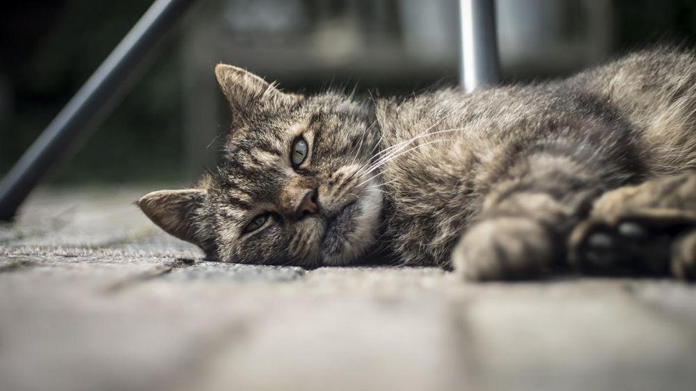 pierderea în greutate a felinelor cauzează