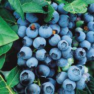 Afin de cultura (Vaccinium cor. Bluecrop)