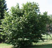 Alun (Corylus avelana)
