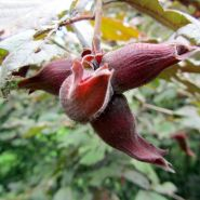 Alun rosu (Corylus maxima Purpurea)