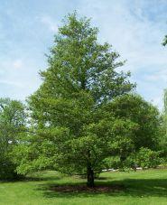 Anin (Alnus glutinosa) 50-80 cm