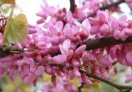 Arborele de Iudeea  (Cercis siliquastrum) 10-20 cm