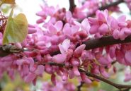 Arborele de Iudeea   (Cercis siliquastrum) 40-60 cm