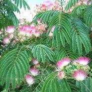 Arborele de matase (Albizia julibrissim) 20-40 cm