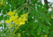 Arborele de mazare (Caragana arborescens)