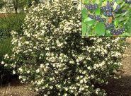 Aronia (Aronia melanocarpa)