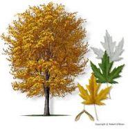 Artar argintiu (Acer saccharinum) 90-120 cm