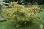 Artar japonez  (Acer palmatum) 40-60 cm