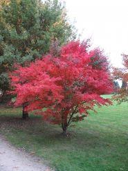 Artar japonez rosu (Acer palmatum atropupurea)