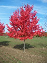 Artar rosu (Acer rubrum October Glory) 50-60 cm