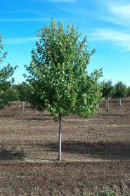Artar rosu (Acer rubrum) 120-160 cm