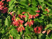 Artar tatarasc (Acer tataricum) 150-200 cm