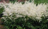 Astilbe (Astilbe arendsii Astary White)