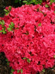 Azalee (Rhododendron Canzonetta)