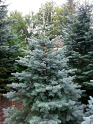 Brad de Arizona (Abies lasiocarpa)