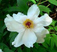 Bujor arbustiv (Paeonia suffuricosa)