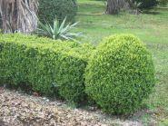 Buxus (Buxus sem. Suffruticosa) 15 cm