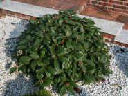 Calin pitic (Viburnum davidii)