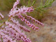 Catina rosie (Tamarix ramossisima)
