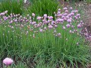 Ceapa de frunze (Allium scoenoprasum)