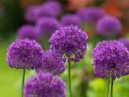 Ceapa decorativa Purple Sensation (Allium Purple Sensation)