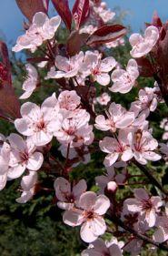 Cires rosu (Prunus cistena)