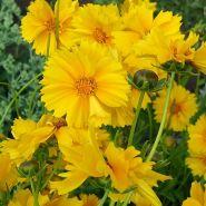 Coreopsis (Coreopsis grandiflora Sunray)
