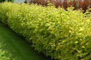 Corn galben (Cornus alba Aurea)