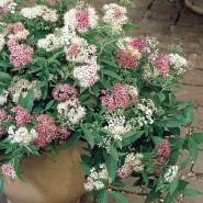 Cununita colorata (Spiraea japonica Genpei)