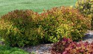 Cununita (Spiraea japonica Firelight)