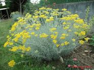 Curry (Helichrysum compact)