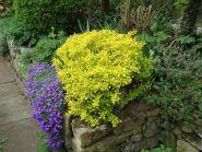 Dracila galbena (Berberis th.aurea)