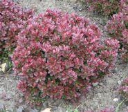 Dracila pitica (Berberis th. Bagatelle)