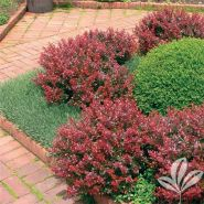 Dracila rosie pitica (Berberis th. Atropurpurea Nana)