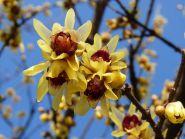 Dulceata iernii (Chimonanthus praecox)