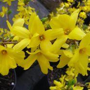 Forsitia galbena (Forsythia int. Golden Times)