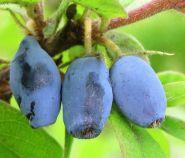 Fructele de miere (Lonicera kamtsch. Wojtek)