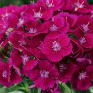 Garofite purpurii (Dianthus Barbarini Purple)