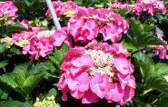 Hortensie fasan (Hydragena macrophilla Fasan)