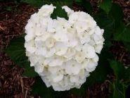 Hortensia alba (Hydrangea macro. Mme Em. Mouillere)
