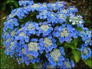 Hydrangea macrophylla 'Blaumeise'  - hortensie albastra