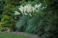 Iarba de pampas alba (Cortaderia s. White Plume)