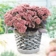 Iarba de soaldina maro (Sedum telephium Seduction Brown-Red)