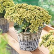 Iarba de soaldina (Sedum Seduction Green Yellow)