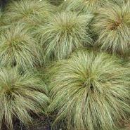 Iarba decorativa (Carex comans Frosted Curls)