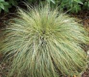 Iarba decorativa (Carex comans Frosted Curls)