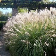 Iarba elefantului ( Miscanthus sin. Morning Light)